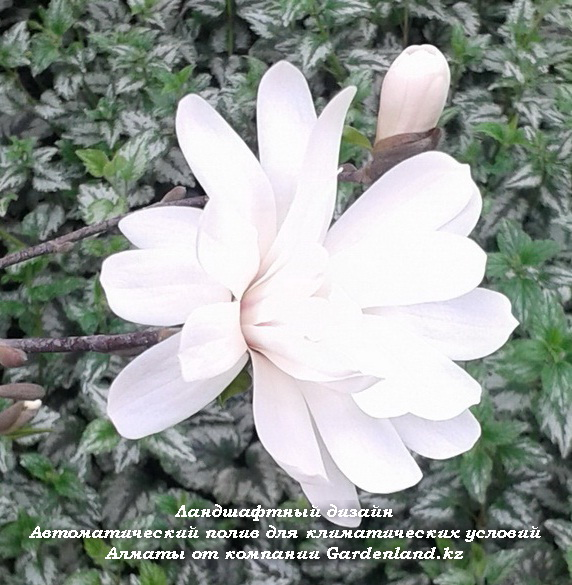 Magnolia 'Royal Star' v Almaty